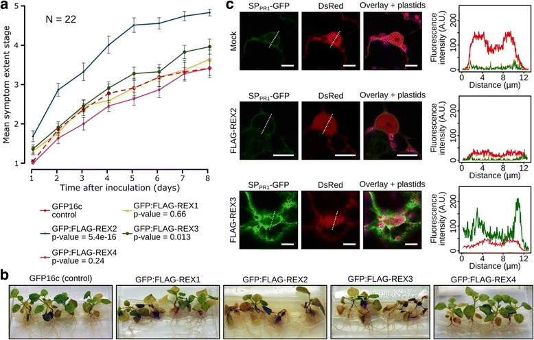 REX2 and REX3 increase N. benthamiana susceptibility to P. palmivora , and REX3 interferes with host secretion . Transgenic N. benthamiana plants expressing GFP16c (control) or GFP:FLAG-REX1 to GFP:FLAG-REX4 were challenged with zoospores from P. palmivora YKDEL, and disease progression was ranked over time using the previously defined symptom extent stages ( SESs ). a Representative disease progression curves for transgenic plants expressing GFP:FLAG-REX1 ( yellow ), GFP:FLAG-REX2 ( blue ), GFP:FLAG-REX3 ( green ) or GFP:FLAG-REX4 ( magenta ) compared to GFP16c control plants ( red dashed ). p values were determined based on Scheirer-Ray-Hare nonparametric two-way analysis of variance ( ANOVA ) for ranked data. The experiment was carried out in duplicate ( N = 22 plants). b Representative pictures of infected plants, 8 days after infection. c Disease-promoting effectors REX2 and REX3 were co-expressed with a secreted GFP construct (SP PR1 -GFP) in N. benthamiana leaves. GFP fluorescence was quantified along the nucleus