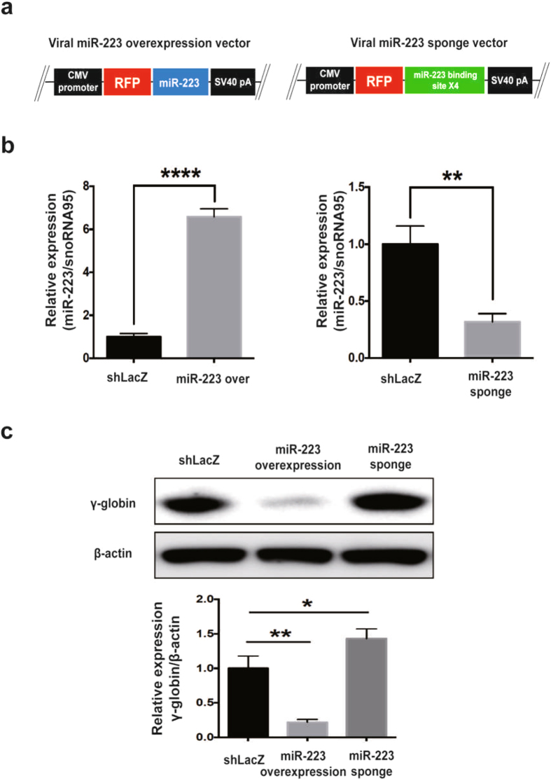 miR-223-3p targeting up regulates γ-globin expression. ( a ) Overview of the barcoded lentiviral miRNA over expression and sponge vector. miRNA expression is driven by the viral CMV promoter. This vector contains the miRNA and ~500 bp endogenous flanking sequences in the 3′UTR of the RFP (Red Fluorescent Protein). To allow selection of target cells, we incorporated a dual selection cassette of puromycin gene. ( b ) RT-qPCR validation for miR-223-3p over expression and sponge repression in K562 cells. ( c ) Western blot analysis of γ-globin expression by viral miR-223-3p over expression or sponge repression in K562 cells. Experiments were performed in triplicates. The values represented are mean ± SD, t-test analysis, *P