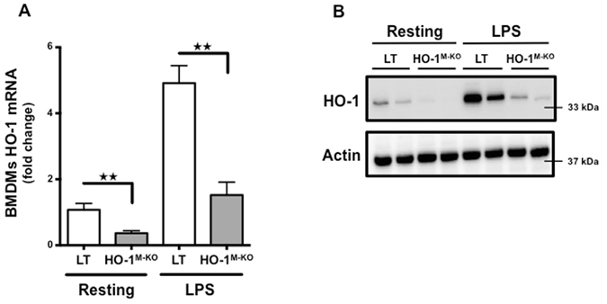 Myeloid-restricted deletion of HO-1 in HO-1 M-KO mice. ( A ) qRT-PCR analysis of HO-1 mRNA levels and ( B ) representative images of western blot analysis for HO-1 in BMDMs generated from LT (white bars) and HO-1 M-KO (grey bars) mice in resting and after LPS stimulation (100 ng/ml) for 24 hours. Results are expressed as the mean ± SEM, ★★ p