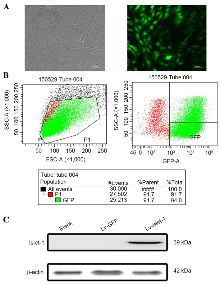 Successful establishment of Islet-1 overexpression model in C3H10T1/2 cells. (A) Fluorescence microscopy. Scale bar=100 µm. (B) Infection efficiency, as GFP detected by flow cytometry, was 91.7%. (C) Islet-1 protein expression detected by western blotting, with β-actin as a loading control. Islet-1, insulin gene enhancer binding protein ISL-1; GFP, green fluorescent protein.