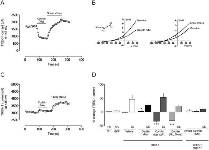 Whole-cell patch clamp recordings of TREK-1 in HEK293 cells ( A ) Time course of the effect of multimerized cochlin (10 nM) applied to the bath in a HEK293 cell expressing hTREK-1. Cochlin was previously multimerized by Ca 2+ addition for 2 h. Using the whole-cell configuration of the patch clamp technique, TREK-1 current was activated with 1 s voltage ramps from −100 to + 50 mV every 5 s (as in B ). Current values were measured at +45 mV in each ramp and plotted vs. time. Multimerized cochlin (Mu) produced a significant current reduction. In contrast, current increased when the cell was stimulated by shear stress (increase in bath perfusion rate). ( B ) Left: TREK-1 current elicited by a voltage ramp in basal conditions and after addition of multimerized cochlin. Right: an increase in bath perfusion rate activates TREK-1 channels and increases whole cell current. ( C ) Time course of the effect of monomeric (Mo) cochlin using the same protocol as in A. ( D ). Quantification of the effects of cochlin on hTREK-1 current in transiently transfected HEK293 cells: Vehicle (n = 11); monomeric cochlin (Mo; 10 nM; n = 8); monomeric); cochlin multimerized by Ca2+ addition for 2 h (Mu, 10 nM; n = 8) and cochlin multimerized by passing the cochlin solution (10 nM) through a 26 gauge syringe needle 20 times (n = 8). High K + solution: recordings of TREK-1 current in high extracellular K + concentration (135 mM). Vehicle, multimeric cochlin (Mu; 10 nM) and shear stress stimuli were applied (n = 8). SS: shear stress. *p