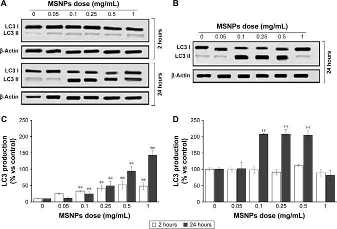 Effect of MSNPs on cell autophagy assessed by measuring the production of LC3 mediator. Notes: HUVECs were incubated with different concentrations (0.05–1 mg/mL) of MSNPs of 250 nm ( A , C ) or of 30 ( B , D ) for 2 or 24 hours. LC3 production was analyzed by immunoblotting followed by enhanced chemiluminescence detection, and representative blots are shown ( A , B ). The intensity of chemiluminescent spots was semiquantitatively estimated by ImageQuant LAS4000, and expressed as the ratio between the intensity of the spot of interest and the intensity of β-actin bands for cell lysates ( C , D ). Data are mean ± standard error of three separate experiments performed in triplicate. Results were compared by Student's t -test. ** P