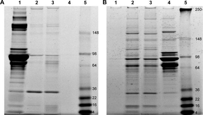 Analysis of MSNP protein coronas by SDS-PAGE. Notes: MSNPs of different sizes were incubated with cell-culture medium with 5% or 10% serum at 37°C for 24 hours. After centrifugation to remove unbound serum proteins, pellets were washed three times and then resuspended in 30 µL water and analyzed by SDS-PAGE on a 12% bis-Tris-glycine gel (Thermo Fisher Scientific), followed by EZ blue staining. Representative gels are shown. ( A ) Protein coronas of MSNPs after incubation in cell-culture medium with 5% serum. Lane 1, aliquot of medium; lane 2, protein coronas of 30 nm MSNPs; lane 3, protein coronas of 250 nm MSNPs; lane 4, medium alone submitted to centrifugation as negative control; lane 5, molecular weight marker. ( B ) Protein coronas of MSNPs after incubation in cell-culture medium with 10% serum. Lane 1, medium alone submitted to centrifugation as negative control; lane 2, protein coronas of 30 nm MSNPs; lane 3, protein coronas of 250 nm MSNPs; lane 4, an aliquot of medium; lane 5, molecular weight marker. Abbreviations: MSNP, mesoporous silica nanoparticle; SDS-PAGE, sodium dodecyl sulfate polyacrylamide-gel electrophoresis.
