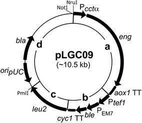 Structure of pLGC09. Plasmid pLGC09 comprises three modules: a the lytic regulated module is composed of the promoter of chaperonin CCT one complex (P cct α) that drives expression of eng in P. pastoris and it is finished by aox1 transcription termination ( aox1 TT) region; b the selection marker module is composed of the translational elongation factor 1 gene promoter (P tef1 ) and of the EM7 synthetic prokaryotic promoter (P EM7 ) that drive expression of the ble gene in P. pastoris and E. coli respectively, these expressions are finished by cyc1 transcription termination region ( cyc1 TT); c the homologous recombination module is composed of the leu2 functional gene including its promoter and transcription termination region; and d the replicon <t>pCR</t> ® <t>4Blunt-TOPO</t> ® that includes the functional gene bla and pUC origin ( ori pUC )