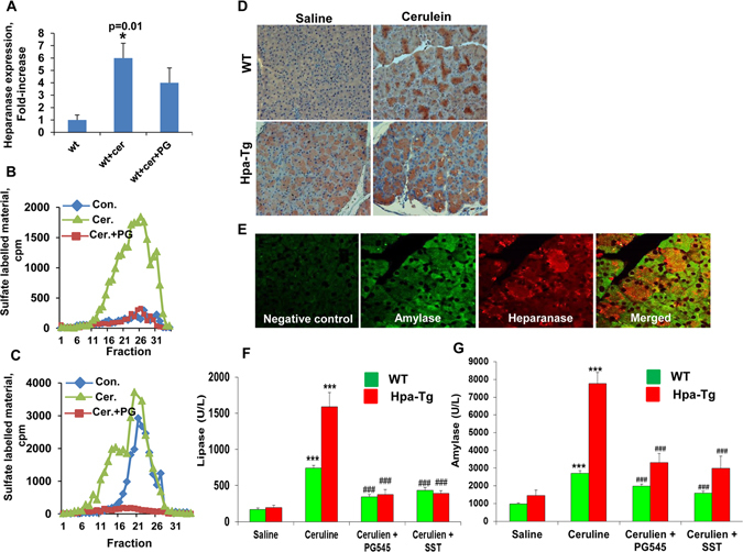 ( A ) Cerulein treatment induces heparanase expression. Pancreas tissue was harvested from control mice (WT) or mice treated with cerulein in the absence (wt+cer) or presence of PG545 (wt+cer+PG). Total RNA was extracted and subjected to quantitative real-time PCR applying heparanase primers. Relative heparanase gene expression (fold-increase) is shown graphically in relation to heparanase levels in control pancreas set arbitrarily to a value of 1. Heparanase mRNA levels were normalized to actin mRNA (number of mice in each group = 5); *p