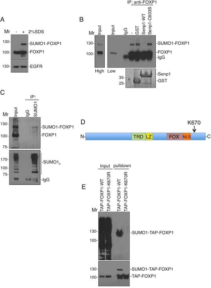 FOXP1 is SUMOylated at K670. ( A ) DIV7 cortical neuronal cultures were lysed in buffer with or without 2% SDS and immunoblotted with FOXP1 antibody. Under denaturing conditions a prominent additional higher molecular weight FOXP1 band was observed. ( B ) Following lysis in 2% SDS containing buffer, the SDS was diluted to 0.1% and FOXP1 immunoprecipitated and incubated with GST, GST-WT-Senp1 catalytic domain or GST-Senp1-C603S catalytic domain. Immunoblots with FOXP1 antibody (top panel) shows the higher Mr band is removed by Senp1 treatment consistent with it being SUMOylated FOXP1. A high exposure (top left panel) of the input shows the presence of the modified-FOXP1. Lower panel shows equal levels of purified GST-SENP proteins by coomassie staining. ( C ) Immunoprecipitation was performed as in B, using a SUMO-1 antibody, followed by immunoblotting with either FOXP1 (upper panel) or SUMO1 (lower panel) antibodies. SUMO1-modified FOXP1 corresponds to the high Mr band in the input. Note the enrichment of SUMO1-ylated proteins (seen as a smear) in the IP lane but not the control IgG. ( D ) Schematic of FOXP1 showing the putative SUMOylated lysine. TRD, transcriptional repression domain; LZ, leucine zipper; FOX, FOX homolgy domain; NLS, nuclear localisation signal. ( E ) FOXP1 is SUMOylated at lysine 670. HEK293T cells were transfected with either TAP-FOXP1-WT or the mutant TAP-FOXP1-K670R, lysed in buffer containing NEM, to inhibit SUMO proteases, and precipitated using strepavidin beads before subsequent immunoblotting with anti-SUMO1 (top panel) or anti-SBP (lower panel) antibodies.