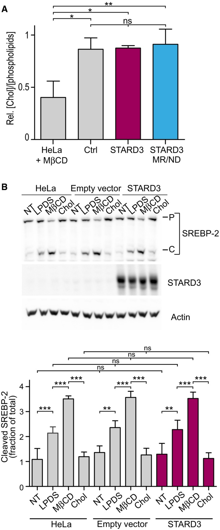 STARD3‐mediated cholesterol accumulation in endosomes does not alter cholesterol homeostasis Total free cholesterol quantification after total lipid extraction in control cells and in cells expressing STARD3 or the lipid binding mutant form of STARD3 (STARD3 MR/ND) ( n = 3). Please note that control HeLa cells treated with MβCD have a significant depletion of total cholesterol ( n = 2). Mean ± SD; ANOVA with Tukey's multiple comparison test. Western blot analysis of SREBP‐2 activation in controls (HeLa, HeLa/empty vector) or STARD3‐overexpressing HeLa cells. Cells were incubated for 2 h in DMEM culture medium supplemented with: 5% FCS (NT); 5% LPDS, 10 μM mevinolin (LPDS); 5% LPDS, 10 μM mevinolin, 1 mM MβCD (MβCD); 5% LPDS, 10 μM mevinolin, 500 μM cholesterol complexed to MβCD (MβCD‐Chol). The proteasome inhibitor MG132 (10 μM) was present in all conditions. P = precursor form of SREBP‐2; C = cleaved form of SREBP‐2. Lower panel: WB quantification in which cleaved SREBP‐2 is expressed as a fraction of total SREBP2 (P+C). Mean ± SD; n = 4 independent experiments; ** P