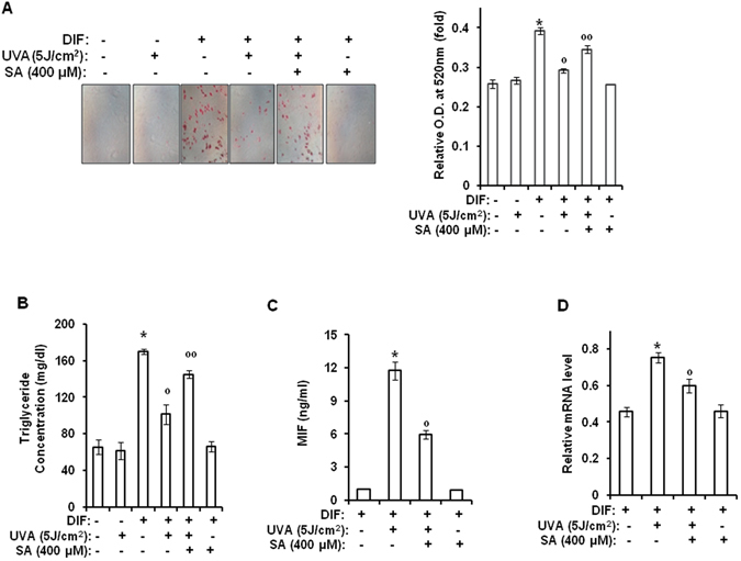 Sinapic acid attenuates UVA-induced suppression of adipogenic differentiation through downregulation of MIF gene expression. Two-day post confluent hAMSCs (day 0) were irradiated with UVA (5 J/cm 2 ) and then treated with sinapic acid (400 μM), followed by stimulation with STEM PRO ® adipocyte differentiation media for 3 days. The medium was then replaced with STEM PRO ® adipocyte differentiation media every three days until the end of the experiment at day 14. These assays were performed on fully differentiated adipocytes (day 14). ( A ) Intracellular lipids were stained with Oil Red O. The results were confirmed by three independent experiments, which were each conducted in duplicate. ( B ) The triglyceride content was measured using a triglyceride assay kit (Cayman Chemical, Ann Arbor, MI). The results were verified by three repetitions of the experiments, each of which was conducted in triplicate. ( C ) At day 14 after the induction of differentiation, the supernatants were harvested for MIF measurement. Data are expressed as the means ± S.D. ( D ) At 14 days after the induction of differentiation, the total RNA was isolated and the mRNA levels of the MIF gene were measured by real-time quantitative RT-PCR. The results were verified by four repetitions of the experiments, each of which was conducted in triplicate. * p