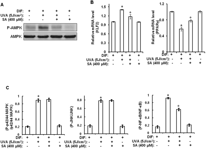 Sinapic acid attenuates UVA-induced suppression of adipogenic differentiation through downregulation of MIF-AMPK-KLF2 signaling by inhibiting NF-κB. Two-day post confluent hAMSCs (day 0) were irradiated with UVA (5 J/cm 2 ) and then treated with sinapic acid (400 μM), followed by stimulation with STEM PRO ® adipocyte differentiation media for 3 days. The medium was then replaced with STEM PRO ® adipocyte differentiation media every three days until the end of the experiment at day 14. These assays were performed on fully differentiated adipocytes (day 14). ( A ) At 14 days after the induction of differentiation, the total lysates were analyzed by Western blot using the indicated antibodies. ( B ) At 14 days after the induction of differentiation, the total RNA was isolated and the mRNA levels of the KLF2 and PPARγ genes were measured by real-time quantitative RT-PCR. The results were verified by four repetitions of the experiments, each of which was conducted in triplicate. ( C ) At 1 h after the induction of differentiation, cell lysates were analyzed using a Multi-Target Sandwich ELISA Kit. All of the results were verified by repeating the experiments, each of which was conducted in duplicate, three times. SA: sinapic acid, DIF: differentiation media, UVA: ultraviolet A. Data are expressed as the means ± S.D. * p