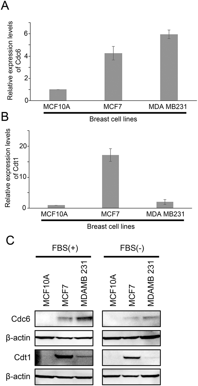 The expression of Cdc6 and Cdt1 in breast cell lines. Histograms showing ( A ) Cdc6 and ( B ) Cdt1 mRNA expression as measured by qPCR in normal breast epithelial cell line MCF10A, and two breast cancer cell lines, MCF7 and MDA MB231 in medium without Fetal Bovine Serum (FBS). ( C ) Western blot analysis of Cdc6, Cdt1 and β-actin in MCF10A, MCF7 and MDA MB231 cells in normal culture media (left panel) and in media without Fetal Bovine Serum (FBS; right panel).