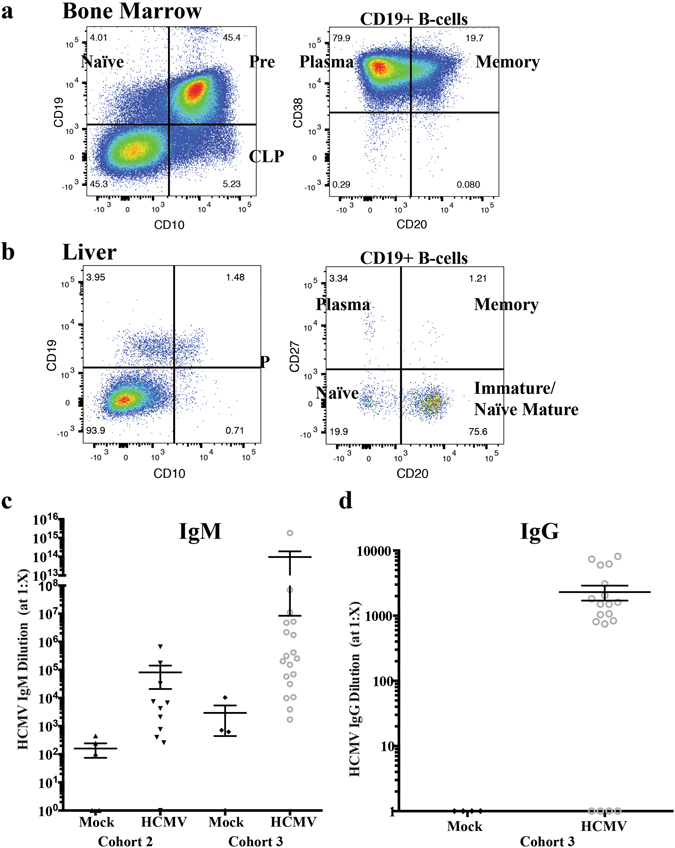 huBLT mice develop mature human B-cells and functional HCMV-specific antibody responses. huBLT mice were generated as described in Fig. 1 . Total mononuclear cells from the bone marrow ( a ) and liver ( b ) from an uninfected huBLT mouse at 17 weeks post-humanization were analyzed by flow cytometry for human B-cell subsets. Samples were gated on total viable, murine CD45-, human CD45+ lymphocytes. Both organs were analyzed for B-cell maturation looking at CD10+ CD19- committed lymphoid progenitors (CLP, which are also CD38+ CD20−) and CD10+ CD19+ pre-B-cells and CD10-CD19+ naïve B-cells (panel 1). The CD19+ B-cell population was further analyzed for CD27-CD20- naïve B-cells, CD20 + CD27− immature/naïve mature B-cells, CD27 + CD20+ memory B-cells and CD27 + CD20− plasma B-cells (panel 2). huBLT mice were generated and infected with HCMV as described in Fig. 1 and euthanized at 8 weeks post-infection. Plasma samples were analyzed by ELISA for HCMV antibodies using a pan-IgG/IgM/IgA secondary antibody. Positive samples were re-analyzed for antibody maturation using secondary antibodies specific for IgM ( c ) or IgG ( d ).