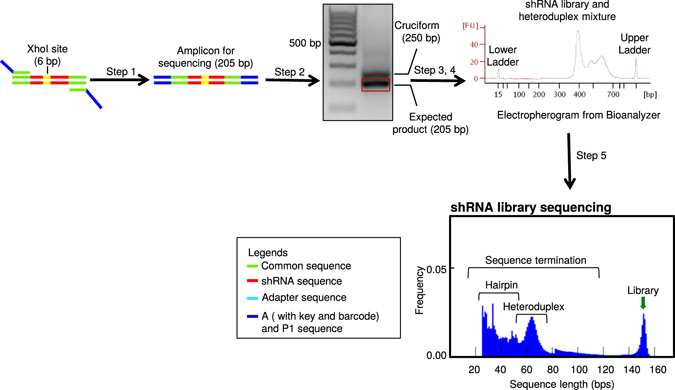 Steps involved in shRNA library sequencing. Workflow showing steps involved in sequencing shRNA library from the genomic DNA. Step1: PCR amplification of shRNA library from gDNA. Step 2: PCR purification of the amplified library. Step 3: Gel extraction of the 205 bp library amplicon. Step 4: Quality assessment of the library using a Bioanalyzer. Step 5: shRNA library sequencing using Ion Torrent platform. Representative agarose gel, electropherogram from the Bioanalyzer and read-length histogram from Ion Torrent are shown. The sequence length is plotted in the X-axis and the frequency is plotted in the Y-axis. The shRNA library is 152 bp, excluding the A and P1 sequence.