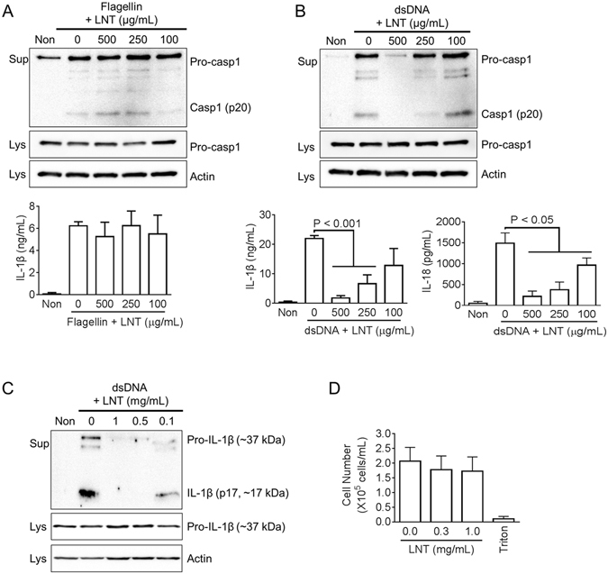 Lentinan on NLRC4 or AIM2 inflammasome activation. LPS-primed BMDMs were treated with the indicated dosage of lentinan (LNT) with/without flagellin ( A ) or dsDNA ( B ). Secretion of caspase-1 (Casp1) was analyzed by immunoblotting, and IL-1β or IL-18 secretion was measured by ELISA. ( C ) Secretion of IL-1β secretion was confirmed by immunoblotting. ( D ) For cytotoxicity, BMDMs were treated with the indicated dosages of LNT, and cell number was measured by an automated cell counter. Triton x-100 (1%, Triton) treatment led to cell death. All immunoblot data shown are representative of at least three independent experiments. Bar graph presents the mean ± SD.