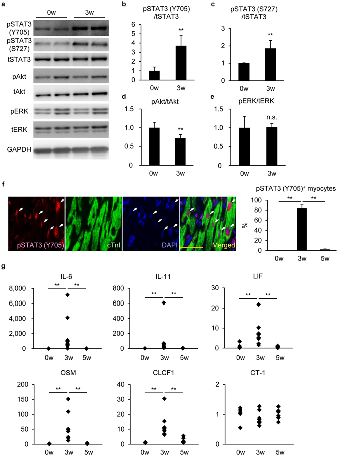 <t>STAT3</t> was activated in <t>cardiomyocytes</t> at EAM3w. ( a ) Heart homogenates at EAM0w and EAM3w were subjected to immunoblotting with anti-phosphorylated STAT3 (pSTAT3) (Y705), anti-pSTAT3 (S727), anti-pAkt, anti-pERK and anti-GAPDH antibodies. Blots were reprobed with anti-total STAT3 (tSTAT3), anti-tAkt and anti-tERK antibodies. The full-length blots are presented in Supplementary Figure S3 . ( b – e ) The band intensity was measured with ImageJ and normalized to that of GAPDH. Data are shown as fold increase relative to 0w. n = 4 mice for 0w; 6 mice for 3w. ( f ) Heart sections were immunostained with anti-pSTAT3 (Y705) and anti-cTnI antibodies at the indicated time points after EAM induction. Left: representative images of pSTAT3 (Y705) + cTnI + cells at EAM3w are shown. Arrows: pSTAT3 (Y705) + nuclei in cTnI + cells. Scale bar: 50 μm. Right: pSTAT3 (Y705) + cTnI + cells in the inflamed region were counted and shown as percentage in cTnI + cells. n = 3 mice for each group. ( g ) The expression of IL-6, IL-11, LIF, OSM, CLCF1 and CT-1 transcripts was quantified at EAM0w and EAM3w by quantitative RT-PCR. The expression of these genes was normalized to that of gapdh and shown as fold increase relative to 0w. n = 5 mice for 0w; 8 mice for 3w and 5w. ( b – e ) Welch's t -test; ( f ) Kruskal-Wallis test; ( g ) Steel-Dwass test. ** P