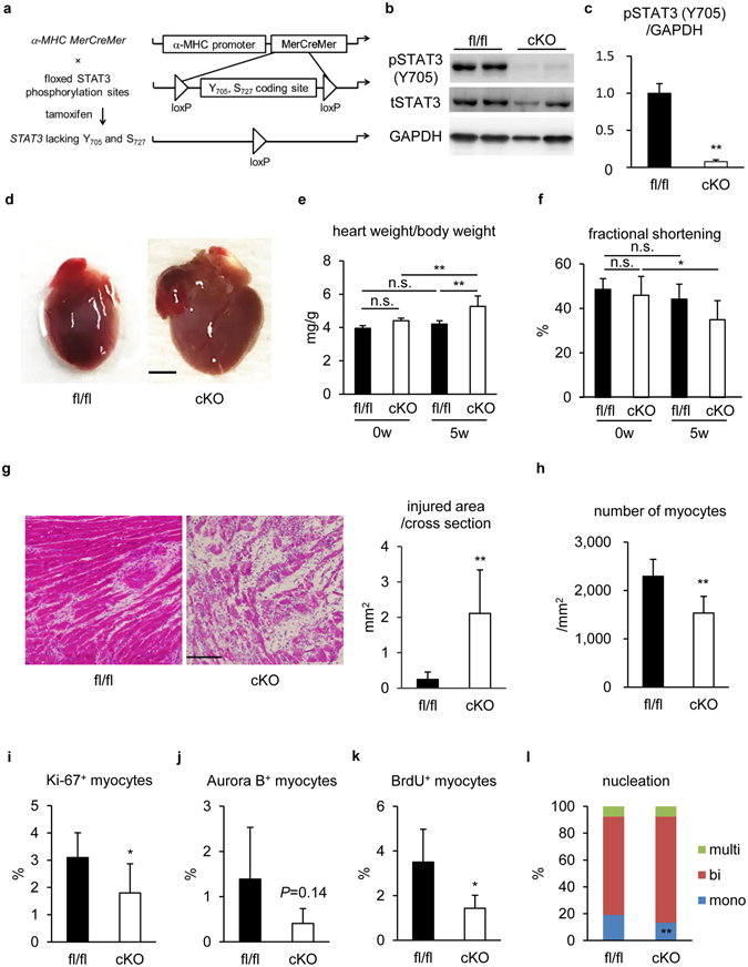 STAT3 gene ablation suppressed the frequency of proliferative cardiomyocytes with impaired myocardial restoration from EAM. ( a ) Tamoxifen was injected to double transgenic mice with α -MHC-MerCreMer and STAT3 flox to ablate STAT3 gene in cardiomyocytes before EAM induction. ( b ) Cardiomyocytes isolated from STAT3fl/fl and STAT3cKO hearts at EAM3w were subjected to immunoblotting with anti-pSTAT3 (Y705), anti-tSTAT3 and anti-GAPDH antibodies. The full-length blots are presented in Supplementary Figure S5 . ( c ) The band intensity was measured with ImageJ and normalized to that of GAPDH. Data are shown as fold increase relative to fl/fl. n = 7 mice for fl/fl; 4 mice for cKO. ( d ) Representative STAT3fl/fl and STAT3cKO hearts at EAM5w. Scale bar: 2 mm. ( e ) The ratio of heart weight to body weight was calculated for the indicated groups. n = 5 mice for fl/fl 0w and cKO 0w; 7 mice for fl/fl 5w; 14 mice for cKO 5w. ( f ) Fractional shortening of STAT3fl/fl and STAT3cKO mice was evaluated by echocardiography at EAM0w and EAM5w. n = 9 mice for each group. ( g ) HE staining was performed for heart sections from STAT3fl/fl and STAT3cKO mice at EAM5w. Left: representative images are shown. Scale bar: 100 μm. Right: injured area was measured. Data were from 7 mice for each group. ( h ) The number of cardiomyocytes in post-inflamed areas of STAT3fl/fl and STAT3cKO hearts was counted at EAM5w and the density was calculated. More than 18,000 myocytes were counted from 7 mice for each group. ( i ) Heart sections from STAT3fl/fl and STAT3cKO mice at EAM3w were immunostained for Ki-67 and MHC. Ki-67 + MHC + cells in the inflamed region were counted and shown as percentage in MHC + cells. n = 5 mice for fl/fl; 8 mice for cKO. ( j ) Heart sections from STAT3fl/fl and STAT3cKO mice at EAM3w were immunostained for Aurora B and cTnI. Aurora B + cTnI + cells in the inflamed region were counted and shown as percentage in cTnI + cells. n = 5 mice for fl/fl; 8 mice for cKO. ( k ) BrdU 