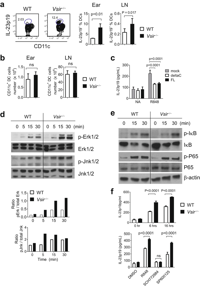 VISTA negatively regulates IMQ-induced activation of DCs and the production of IL-23. WT and Vsir −/− mice were treated on ears with 3.5% IMQ for 3 days. Cells from ear tissues and the ear-draining cervical LNs were harvested. Cells were stimulated with PMA and Ionomycin in vitro for 3 hrs. The expression of IL-23p19 in CD11c + DCs was examined by flow cytometry. The percentages of IL-23p19-expressing DCs were quantified and shown as mean ± SEM (n = 6) in ( a ). The number of total CD11c + DCs from ear tissue and draining LN is shown as mean ± SEM (n = 5) in ( b ). To determine whether ectopic expression of VISTA suppresses TLR7-induced IL-23 production, Vsir −/− BM-derived DC were transduced with lentivirus expressing full-length (FL), or mutant VISTA lacking the cytoplasmic tail (deltaC), or GFP control protein. After culture with GM-CSF (20 ng/ml) for 7 days, cells were stimulated with R848 (5 μg/ml) for 7 hrs. Culture supernatant was harvested and secreted IL-23p19/p40 was examined by ELISA ( c ). To examine TLR7 signaling in DCs, CD11c + DCs were purified from the spleens of naïve Rag1 −/− and Vsir −/− Rag1 −/− mice, and stimulated with R848 (5 μg/ml) for indicated amount of time. Total cell lysates were prepared and examined for the levels of phosphorylated Erk1/2 and Jnk1/2 by western blotting ( d ). The ratio of phosphorylated versus total Erk1/2 and Jnk1/2 was calculated based on the total protein level from the same lysate run on a parallel gel ( d ). The activation of NF-κB signaling was examined by western blotting the level of phosphorylated and total IκB, as well as phosphorylated and total NF-κB p65 subunit ( e ). To determine whether Erk and Jnk were required for the production of IL-23, Splenic DCs were isolated from naïve WT and Vsir −/− mice, and stimulated with R848 (5 μg/ml) in the presence of Erk1/2 inhibitor (SCH772984, 10 μM), or Jnk1/2 inhibitor (SP600125, 10 μM), or DMSO solvent control for overnight. Culture supernatant was collected and s