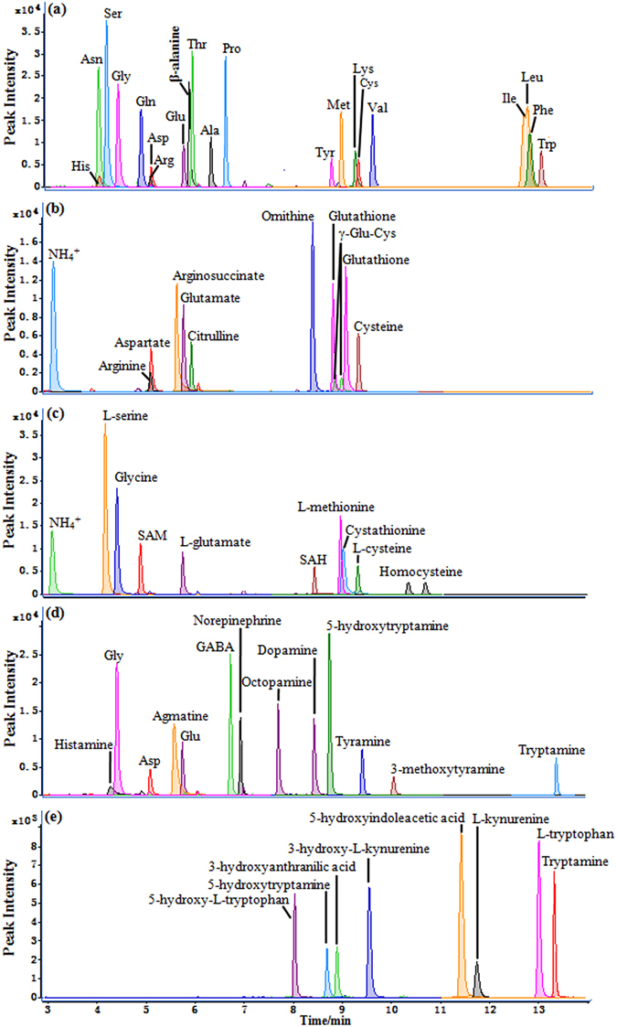 UHPLC-MS/MS chromatograms for the 5-AIQC-tagged amino metabolites in multiple metabolic pathways including ( a ) protein biosynthesis/degradation, ( b ) urea cycle, ( c ) folate-associated homocysteine metabolism, ( d ) biosynthesis of monoamine neurotransmitters and ( e ) tryptophan-mediated kynurenine pathway.
