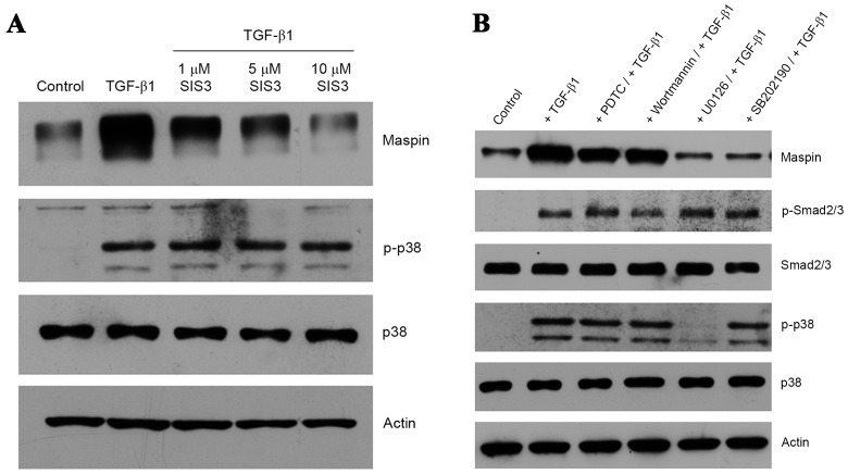 Induction of maspin expression through Smad and non-Smad signaling pathways. (A) Cultures of HeLa cells were pre-treated with 1, 5 or 10 µM SIS3 prior to the addition of 10 ng/ml TGF-β1 and a 48-h incubation. Maspin, p38 and p-p38 proteins were detected by western blotting. (B) HeLa cells were incubated with 100 µM PDTC, 1 µM wortmannin, 10 µM SP600125, 10 µM U0126 or 10 µM SB202190 for 1 h at 37°C prior to the addition of 10 ng/ml TGF-β1, and then further incubated for 48 h. Maspin, p-Smad2, Smad2, p-p38 and p38 were detected by western blotting. Actin was used for normalization of gel loading. Smad, mothers against decapentaplegic homolog; SIS3, Smad3 inhibitor; TGF-β1, transforming growth factor β1; p-p38, phospho-p38; p-Smad2, phospho-Smad2; PDTC, pyrrolidine dithiocarbamate.