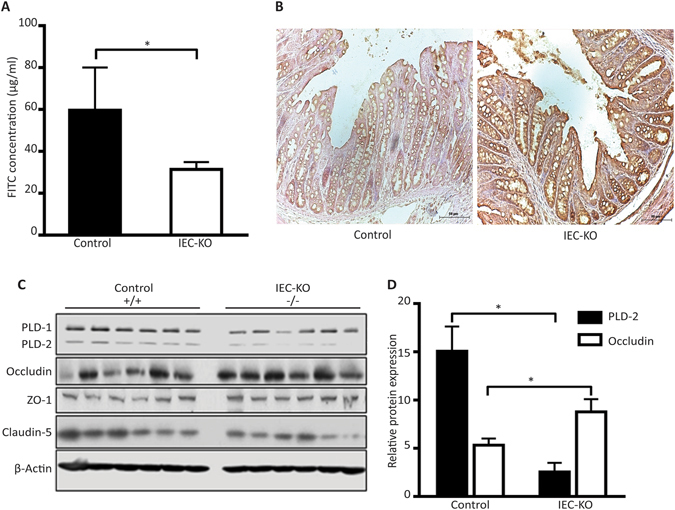 Intestine-specific knockdown of PLD2 decreases occludin expression in mice. ( A ) In-vivo permeability assay in control and IEC KO mice, conducted after 4 hours of treatment with FITC-dextran, administered by oral gavage. FITC concentration in the serum was measured using a spectrofluorometer and is shown as the mean ± SEM. ( B ) Immunohistochemistry assessing the expression of occludin in the paraformaldehyde-fixed paraffin-embedded sections of colon tissue from control and IEC KO mice. Scale bar is 50 µm. ( C ) Western blots of occludin in isolated colon epithelial cells from the control and IEC KO mice. ( D ) Associated western blot quantification. All data are shown as the mean ± SEM. *p