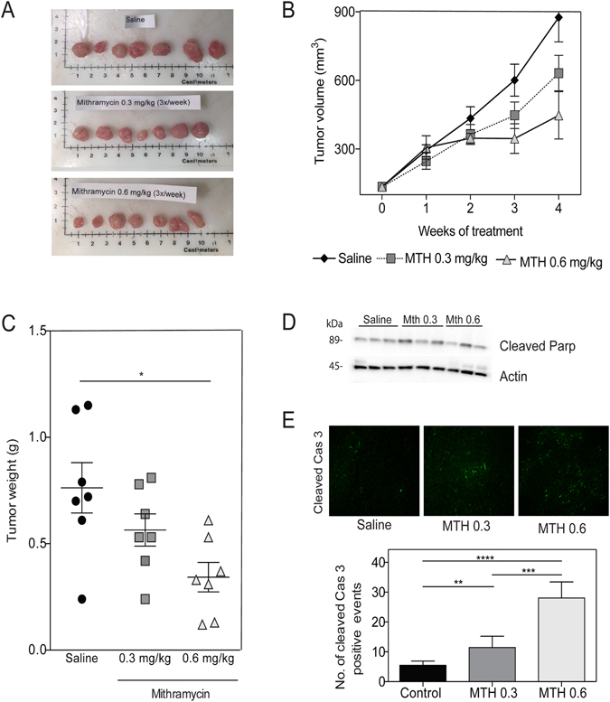 Sp1 downregulation causes tumor regression. MIA PaCa-2 cells injected subcutaneously, and treated with saline or mithramycin for 4 weeks. ( A ) Tumors explanted from saline, mithramycin 0.3 mg/kg, and mithramycin 0.6 mg/kg ( B ) Tumor volume ( C ) Tumor weights ( D ) Tumors analyzed for apoptosis with cleaved PARP by western blot, and ( E ) cleaved caspase 3 by immunofluorescence.