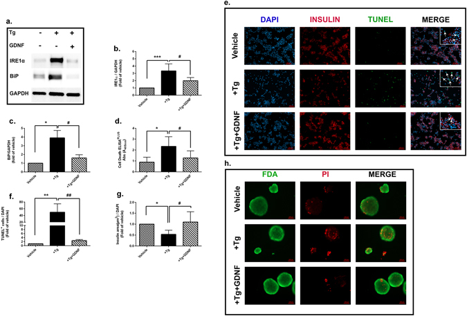 GDNF reduces ER stress and consequently ER stress induced apoptosis in human islets. ( a ) Representative <t>western</t> <t>blot</t> of IRE1α and BiP in human islets treated with Tg (1 µm) with or without GDNF (200 ng/ml) for 48 hrs. ( b , c ) Quantification of IRE1α and BiP band densities normalized to housekeeping gene GAPDH. Data is presented as a fold of vehicle islets, n = 6. ( d ) <t>Cell</t> death <t>analysis</t> by cell death ELISA PLUS of human islets treated with Tg with or without GDNF for 48 hrs, n = 9. ( e ) Representative images showing insulin (red), TUNEL (green) and DAPI (blue) nuclear staining of dispersed human islets treated with Tg with or without GDNF for 48 hrs. ( f ) Score of TUNEL + cells ( g ) and measurement of insulin area to DAPI nuclear staining in dispersed human islets. Data is presented as a fold of vehicle islets. n = 3, five images were taken from each slide and minimum of 2000 cells were scored. ( h ) Representative images showing intact islets stained for PI (red) and FDA (green). For all analysis, data is presented as mean ± SD and p-values were analyzed by nonparametric ANOVA with Dunn's corrections.*p