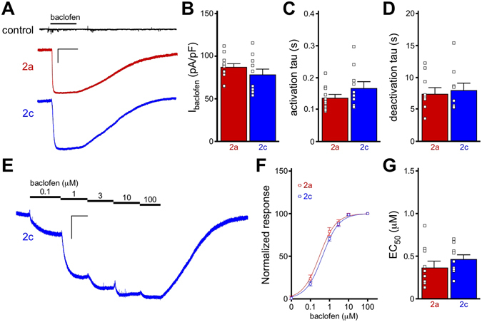 Functional comparison of GIRK2a and GIRK2c in HEK cells. ( A ) Whole-cell currents (V hold = −70 mV) evoked by baclofen (100 μM) in HEK cells expressing GABA B R, GIRK1, and either GIRK2a (red) or GIRK2c (blue). No current was evoked by baclofen in cells expressing only GABA B R (control, black). Scale: 500 pA/10 s. ( B ) Summary of baclofen-induced, steady-state current densities (I baclofen , pA/pF) in HEK cells expressing GIRK1/GIRK2a or GIRK1/GIRK2c ( t 19 = 1.1, P = 0.29; n = 10–11/group). Individual data points are represented as small squares overlapping the relevant bar in the plot. ( C,D ) Activation ( t 19 = 1.5, P = 0.16) and deactivation ( t 16 = 0.4, P = 0.72) kinetics for baclofen-induced currents in HEK cells expressing GIRK1/GIRK2a or GIRK1/GIRK2c (n = 9–11/group). ( E ) Representative concentration-response experiment for a HEK cell expressing GABA B R and GIRK1/GIRK2c. Scale: 500 pA/10 s. ( F,G ) Summary of concentration-response experiments for baclofen-induced currents in HEK cells expressing GIRK1/GIRK2a or GIRK1/GIRK2c ( t 17 = 1.0, P = 0.32; n = 9–10/group). Currents were normalized to the response evoked by 100 μM baclofen in each experiment.