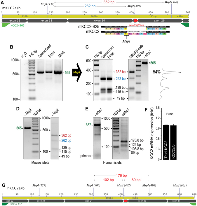 KCC2-S25 is expressed in MIN6 β-cells, human islets and mouse pancreas. ( A ) Representation of KCC2a/b amplicons obtained by using the KCC2-565 primer set. Indicated are the MspI restriction sites and the predicted length of the digestion products in bp. Exon 25 is highlighted in red. Its splicing eliminates an MspI site in the amplicon. ( B ) Ethidium bormide stained gel, inverted from its original gray-scale digital picture, showing RT-PCR products of expected size (565 bp) obtained by using the primer set KCC2-565 and total RNA from mouse spinal cord, brain and MIN6 β-cells. As negative control, water was used instead of total cDNA. ( C ) Representative ethidium bromide stained 2% agarose gel inverted from original where MspI -digested PCR products were separated. Also shown, representative densitometry analysis of the MspI banding pattern to estimate the relative contribution of KCC2-S25 (~54%) to the total KCC2 pool. ( D ) Representative ethidium bromide stained gel inverted from original showing an RT-PCR experiment performed using mouse islet RNA and the KCC2-565 primer set. Note the product of expected size and MspI digestion analysis of restriction fragments. ( E ) Representative ethidium bormide stained gel inverted from original showing RT-PCR experiment using total RNA from human islets and the KCC2-657 primer to obtain amplicons of expected size (657 bp) and a posteriori MspI digestion analysis. ( F ) Expression levels of total KCC2 in adult mouse brain using qPCR primers that do not distinguish among known KCC2 variants (total KCC2) or specific to exon 25 (KCC2a/b). ( G ) Representation of human KCC2a/b amplicons obtained using KCC2-657 primer set and predicted MspI restriction fragments for KCC2a/b-S25 (176 bp) and KCC2a/b (102 bp + 89 bp).
