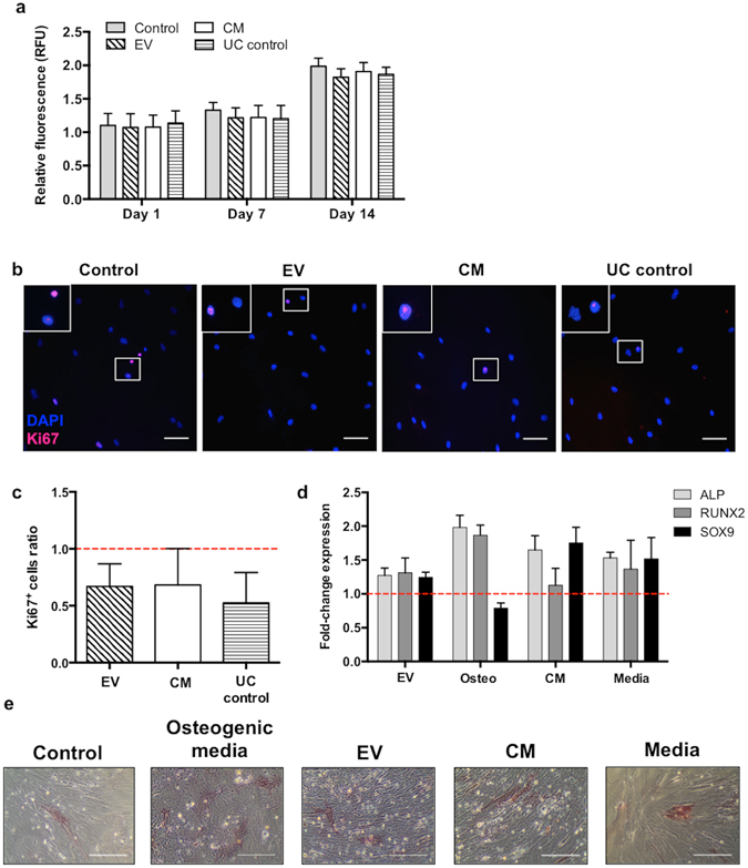 Stimulation of MSC with DC-derived EV is not cytotoxic and do not affect significantly their proliferation nor differentiation capacity. ( a ) MSC were incubated alone, with DC-derived EV (10μg of protein), total conditioned media or 100K ultracentrifugation supernatant (UC control) for 14 days. At days 1, 7 and 14, MSC were incubated with resazurin and conversion to resorufin was determined by fluorescence measurement (RFU=relative fluorescence units). Relative fluorescence at each timepoint normalized to day 0 is depicted. ( b ) MSC were incubated alone (Control), with 50μg protein from EV, total conditioned media (CM), or 100K ultracentrifugation supernatant (UC control) for 24h, before staining for the Ki67(-AlexaFluor 647; pink) proliferation marker and DAPI for nuclei (blue). Scale bar: 100μm. ( b ) Stained cells were imaged by fluorescence microscopy in 20 random fields, the total number and the number of Ki67 +  cells were counted, and are represented as a ratio to non-stimulated control condition (dashed line) (n=4 different DC donors). All bar graphs represent average±SD. n=3 different DC donors. ( d ) Fold-change gene expression by RT-qPCR (average±SD) of osteogenic markers (ALP and RUNX2) and a chondrogenic marker (SOX9) of MSC stimulated with DC-derived EV, osteogenic media (osteo: supplemented with Dexamethasone 10 −7 M, β-glycerophosphate 10 −2  M and ascorbic acid 5×10 −5 M), conditioned media (CM), or protein extracted from complete media (including cytokines) that was not in contact with cells (media), comparatively to MSC in basal conditions (dashed line; n=2 different DC donors). ( e ) ALP activity staining (pink/red), associated with early osteogenic differentiation, of MSC cultured in the presence of the indicated stimuli for 14 days. Although ALP activity staining is similar in stimulated conditions, only osteogenic media lead to morphological changes of MSC characteristic their osteogenic commitment. Scale bar: 1mm.