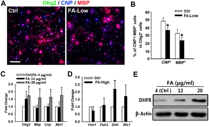 Folate promotes oligodendrocyte maturation depending on <t>DHFR</t> activation in vitro . ( A ) Rat cortical oligodendrocyte precursors (OPCs) from pups at P2 isolated and cultured with different concentrations of folate (Ctrl: folate 4 μg/ml, FA-Low: folate 0.02 μg/ml) for 3 days stained with <t>Olig2,</t> CNP and MBP antibodies. ( B ) Quantification of the percentage of CNP + or MBP + cells among Olig2 + cells in ( A ) are shown in ( B ). Data represents the mean ± S.D. (n = 5, * p