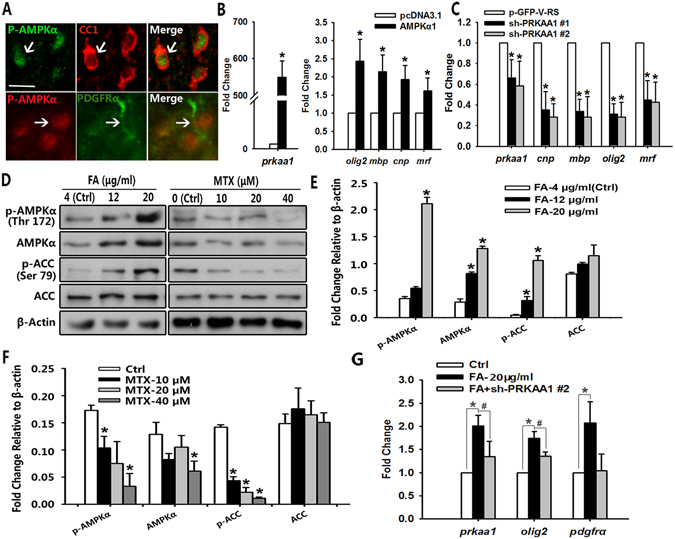 AMPK activity is involved in DHFR regulation of oligodendrocyte development. ( A ) The spinal cord of wild type mice at P8 was co-labeled for p-AMPKα with PDGFRα and CC1. Arrows indicate co-labeled cells. ( B ) qRT-PCR analysis of Prkaa1 , Olig2 , Mbp , Cnp and Myrf genes expression in Oli-neu cells transfected with AMPKα1 and control plasmids for 48 h. Data represents the mean ± S.D. (n > 3, *p