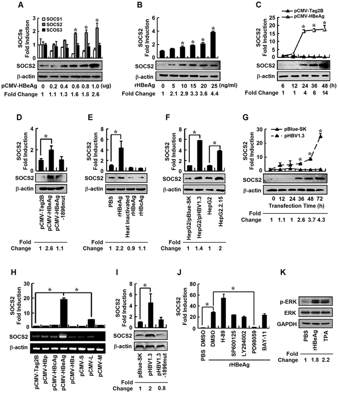 The effect of HBeAg on regulation of SOCS2 expression and ERK signaling. ( A ) HepG2 cells were transfected with pCMV-HBeAg at different concentrations for 24 h. SOCS1, SOCS2, and SOCS3 mRNAs were measured by real-time PCR (upper). SOCS2 and β-actin proteins were detected by Western blot analyses (lower). ( B – E ) HepG2 cells were incubated with rHBeAg at different concentrations ( B ) or transfected with pCMV-HBeAg for different times ( C ). HepG2 cells were transfected with pCMV-Tag2B, pCMV-HBeAg, or pCMV-HBeAg-1896mut for 24 h ( D ) or incubated with PBS, rHBeAg, heat-inactivated HBeAg, or rHBcAg for 12 h ( E ). SOCS2 mRNAs were measured by real-time PCR (upper). SOCS2 and β-actin proteins were detected by Western blot analyses (lower). ( F ) HepG2, pBlue-SK-transfected HepG2, pHBV1.3-transfected HepG2, or HepG2.2.15 cells were harvested 24 h after transfection. SOCS2 mRNAs were measured by real-time PCR (upper). SOCS2 and β-actin proteins were detected by Western blot analyses (lower). ( G ) HepG2 cells were transfected with pBlue-SK or pHBV1.3 for different times. SOCS2 mRNA was measured by real-time PCR (upper). SOCS2 and β-actin proteins were detected by Western blot analyses (lower). ( H ) HepG2 cells were transfected with pCMV-tag2B or plasmids expressing individual HBV proteins for 48 h. SOCS2 mRNA was determined by real-time PCR (upper). SOCS2 and β-actin mRNAs were determined by semi-quantitative RT-PCR (lower). ( I ) HepG2 cells were transfected with pBlue-SK, pHBV1.3, or pHBV1.3-1896mut for 24 h. SOCS2 mRNA was determined by real-time PCR (upper). SOCS2 and β-actin proteins were detected by Western blot analyses (lower). ( J ) HepG2 cells were pretreated with each of specific kinase inhibitors for 12 h, and incubated with rHBeAg or PBS for 24 h. SOCS2 mRNAs were measured by real-time PCR. ( K ) HepG2 cells were incubated with PBS, rHBeAg, or 12-O-tetradecanoylphorbol 13-acetate (TPA) for 12 h. p-ERK, ERK, and GAPDH proteins were detected by Western bl