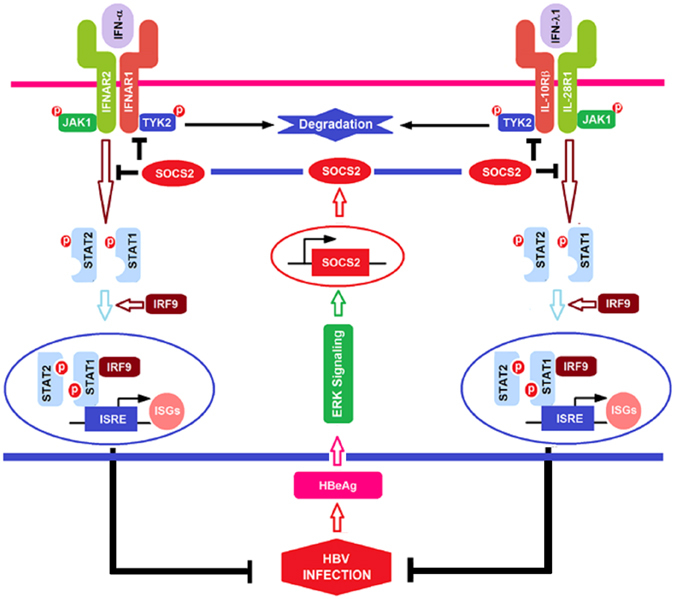 A proposed mechanism by which HBV hijacks IFN/JAK/STAT pathway via activating SOCS2 to facilitate immune evasion and viral infection. During hepatitis B virus (HBV) infection, the extracellular viral protein (hepatitis B e antigen, HBeAg) activates the cellular factor (suppressor of cytokine signaling 2, SOCS2) expression through regulating the extracellular regulated protein kinase (ERK) signaling. Activated SOCS2 subsequently hijacks the IFN/JAK/STAT pathway to reduce tyrosine kinase 2 (TYK2) stability and phosphorylation, downregulate interferon-α/β receptor 1 (IFN-α/βR1, IFNAR1) and interferon-λ1 receptor (cytokine receptor family 2 member 4, CRF2-4 or IL-10Rβ) production, attenuate signal transducer and activator of transcription 1 (STAT1) phosphorylation and nucleus translocation, and finally block IFN-stimulated genes (ISGs) expression, which results in the facilitation of HBV immune evasion, persistent infection, and possible pathogenesis.