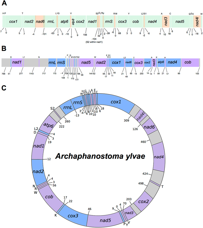 Overview of the mitochondrial genome sequences we resolve for Paratomella rubra , Isodiametra pulchra and Archaphanostoma ylvae (Xenacoelomorpha: Acoela). Genes not drawn to scale. Numbers beneath the sequences show intergenic spaces (positive values) or intergenic overlap (negative values). Protein-coding genes are denoted by three letter abbreviations; ribosomal genes by four letter abbreviations. tRNAs are shown by single uppercase letters. ( A ) P. rubra 14,957 base-pair long sequence. All genes found on the positive (forward) strand. Where genes, rRNAs or tRNAs are coloured orange, this is solely to demonstrate overlap with adjacent genes, rRNAs or tRNAs. ( B ) I. pulchra 18,725 base-pair long sequence. Genes found on the positive (forward) strand are coloured blue; genes on the negative (reverse) strand are coloured purple. Non-coding sequence shown in grey. ( C ) A. ylvae 16,619 nucleotide-long mitochondrial genome. Genes found on the positive (forward) strand are coloured blue; genes on the negative (reverse) strand are coloured purple. Non-coding regions greater than 100 nucleotides in length are shown in grey.