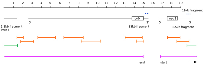 Overview of the initial transcriptome assembly fragments and PCR strategy for scaffolding the Isodiametra pulchra mitochondrial genome. 1.3 kb, 13 kb and 3.5 kb fragments aligned to a continuous 19 kb fragment, with the location of the duplicated sequence in the 13 kb and 3.5 kb fragments shown by blue dashed lines. The 'start' and 'end' regions of the 13 kb and 3.5 kb fragments are annotated by 5′ (start) and 3′ (end). The approximate location of cob and nad1 protein-coding sequence are shown for reference. Reliable PCR-amplicons are shown in orange; the green PCR fragment indicates successful joining of the 3′ end of the 3.5 kb fragment to the rrnL fragment, including the duplicated section. The 18,725 base-pair long sequence we resolve is indicated by the pink lines, from 'start' to 'end'.