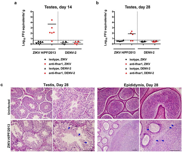 Histology of the testes at day 28 after infection with ZIKV H/PF/2013 Seven week-old WT C57BL/6 mice were treated with PBS or anti-Ifnar1 at day -1 prior to subcutaneous inoculation in the footpad with 10 3 FFU of ZIKV H/PF/2013 or 10 6 FFU of DENV-2. Testes were collected at day 14 ( a ) or 28 ( b ) after infection and analyzed for viral RNA by qRT-PCR. Results are pooled from two independent biological experiments and each symbol represents data from an individual mouse. Bars indicate mean values. c . Histological analysis of PFA-fixed testis ( left panels ) and epididymis ( right panels ) tissues collected from uninfected or ZIKV-infected animals at day 28 at 20× ( left ) and 40× ( right ) magnification. Arrows indicate loss of germ cells and vacuoles in the testis (red), involution of epididymal lumens (yellow) with a mass of residual sperm (blue) and thickened epithelium (green). The images are representative of several independent experiments. Scale bars are indicated in the bottom right corner of the panels. Scale bars = 200 μm.
