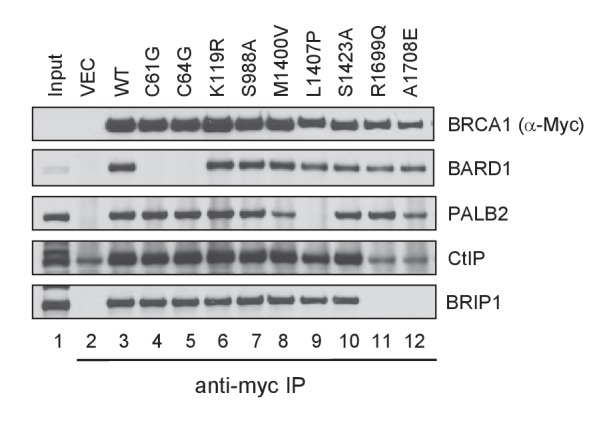 Capacity of the BRCA1 variants to bind BARD1, PALB2, CtIP and BRIP1. The 3xMyc-tagged BRCA1 proteins were transiently expressed in 293T cells and IPed with an anti-Myc antibody. Note that the amount of CtIP co-IPed with BRCT mutants R1699Q and A1708E was the same as the background level in the vector lane. DOI: http://dx.doi.org/10.7554/eLife.21350.005