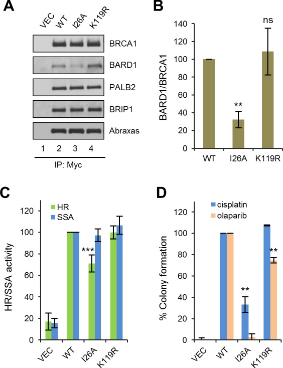 Effects of BRCA1 sumoylation and E3 ligase activity on HR and drug resistance. ( A ) Effect of I26A and K119R mutations on BRCA1 binding to BARD1 and other interacting partners. The proteins were transiently expressed in 293T cells and IPed with anti-Myc. ( B ) Quantification of the BARD1-binding capacity of the BRCA1 mutants. Data shown are the means ± SDs of the ratios of BARD1 and BRCA1 band intensities from four independent experiments. **p