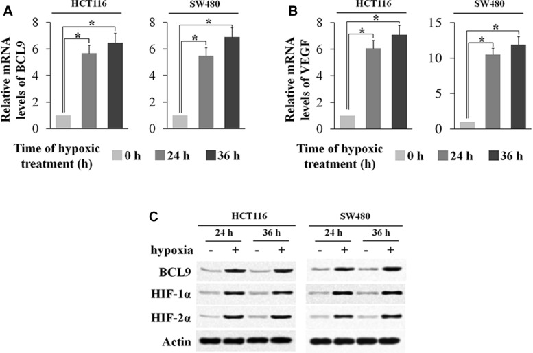 Hypoxia induces BCL-9 expression levels in human colorectal cancer cell lines Human colorectal cancer cell lines SW480 and HCT116 cells were cultured under the hypoxic condition for the indicated time periods. ( A ) The mRNA expression levels of BCL-9 in these cells were determined by Taqman real-time PCR and normalized with actin. ( B ) The mRNA expression levels of VEGF in these cells were determined as a positive control. ( C ) The BCL-9 protein levels were determined by Western-blot assays. Data are presented as mean ± SD ( n = 3). * p