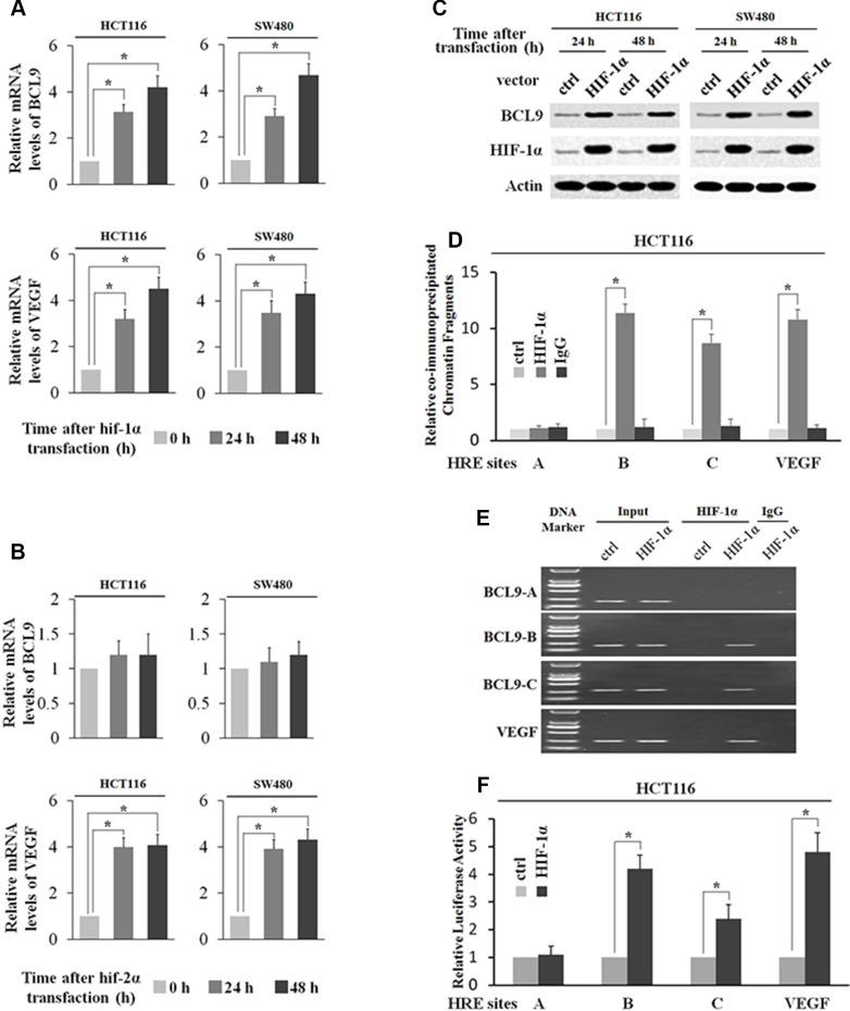 HIF-1α transcriptionally stimulates BCL-9 expression ( A ) Ectopic HIF-1α expression increases BCL-9 and VEGF mRNA expression levels in SW480 and HCT116 cells. The mRNA expression levels of BCL-9 and VEGF were determined by Taqman real-time PCR and normalized with actin. ( B ) Ectopic HIF-2α expression increases VEGF mRNA expression levels but has no effect on mRNA BCL-9 expression levels in SW480 and HCT116 cells. ( C ) Ectopic HIF-1α expression increases BCL-9 protein levels in SW480 and HCT116 cells as determined by Western-blot assays. ( D ) and ( E ) HIF-1α binds to HRE-B and HRE-C sites in the BCL-9 promoter in HCT116 cells transfected with HIF-1α expression plasmids as determined by ChIP assays. The amount of DNA fragments pulled-down was determined by real-time PCR (D) or conventional PCR (E). The HRE site in the VEGF promoter serves as a positive control. ( F ) HIF-1α activates luciferase activity of reporter vectors containing HRE-B or HRE-C sites in the BCL-9 promoter in HCT116 cells transfected with HIF-1α expression plasmids. Luciferase reporter vectors containing the HRE site in the VEGF promoter was included as a positive control. Data are presented as mean ± SD ( n = 3). * p