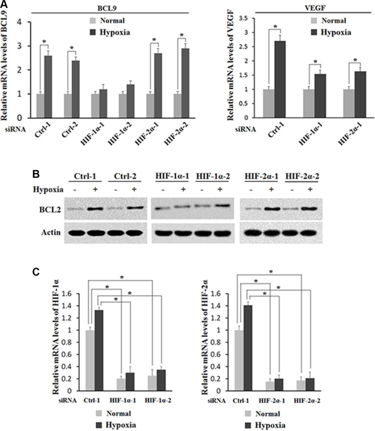 HIF-1α activates the induction of BCL-9 expression by hypoxia Knockdown of endogenous HIF-1α but not HIF-2α largely abolishes the induction of BCL-9 expression by hypoxia in HCT116 cells. Cells with knockdown of endogenous HIF-1α, HIF-2α by siRNA oligos or transfected with control siRNA were treated with hypoxia for 36 h. Two different siRNA oligos against HIF-1α and HIF-2α, respectively, were used, and similar results were obtained. ( A ) The mRNA expression levels of BCL-9 (left panel) and VEGF (right panel) were determined by <t>Taqman</t> real-time <t>PCR</t> and normalized with actin. ( B ) The BCL-9 protein levels were determined by Western-blot assays. ( C ) The knockdown of HIF-2α (left panel) and HIF-1α (right panel) in cells was conformed at the mRNA level by Taqman real-time PCR and normalized with actin. Data are presented as mean ± SD ( n = 3). * p