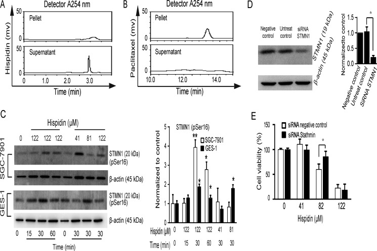 STMN1 phosphorylation and dephosphorylation is involved in hispidin-induced microtubule depolymerization ( A and B ) Tubulin was purified, cross-linked and used as a receptor in hispidin and paclitaxel binding assays. ( C ) SGC-7901 and GES-1 cells were incubated with hispidin or 0.1% DMSO. Then, STMN1 phosphorylation at ser 16 was detected by Western blotting using β-actin as an internal control. ( D ) SGC-7901 cells were transfected with scrambled RNA and STMN1 RNA for 48 h, and STMN1 levels were determined by Western blot. ( E ) The transfected cells were treated with 122 μM hispidin and assayed for viability.