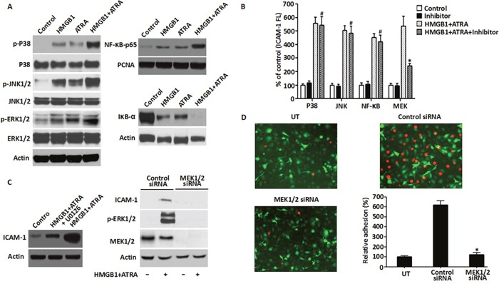 Role of MEK/ERK pathway in HMGB1-mediated cytokine secretion and ICAM-1 elevation A . The MAPK signaling pathway was analyzed in NB4 cells that were treated with ATRA (1 μM) for 48 h or/and HMGB1 (10 μg/ml) for 8 h by western blot analysis of phosphorylated and non-phosphorylated p38, Jnk and Erk kinases. Also, NF-kB pathway was analyzed by detecting the levels of p65 and IkB-α proteins for the same treatments described above along with PCNA. Actin was used as control. B . ICAM-1 levels were determined by FACS analysis of NB4 cells that were treated with ATRA (1 μM) for 48 h followed by HMGB1 (10 μg/ml) for 8 h with or without pre-treatment of the p38, Jnk, NF-kB or MEK inhibitors for 30 min (n=3, * P