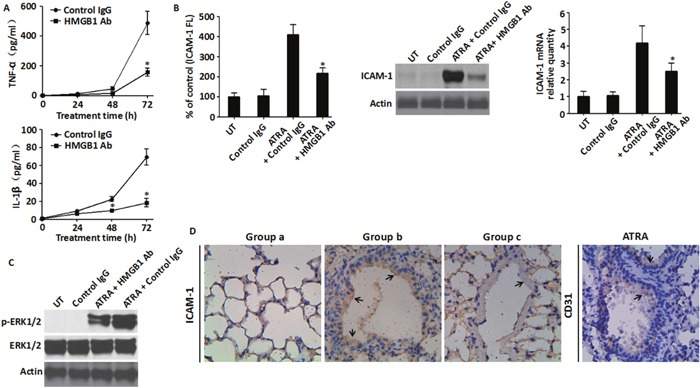 Inhibition of HMGB1 level blunted HMGB1-mediated inflammatory response A . The levels of TNF-α and IL-1β in the supernatant of NB4 cells that were treated with ATRA (1 μM) for 24-72 h with or without HMGB1-neutralizing antibody (10 μg/ml) were analyzed by ELISA (n=3, * P