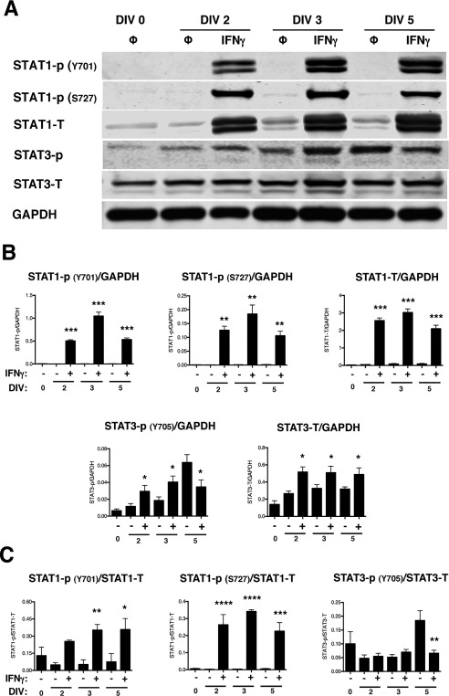 NSPCs activate STAT1 and STAT3 upon IFNγ stimulation. IFNγ‐treated NSPCs (100U/ml) were collected on DIV 2, 3, and 5, and lysed for western blot analysis. A: Representative blots are shown for phosphorylated STAT1 (Y701 and S727), total STAT1, phosphorylated STAT3 (Y705), and total STAT3. GAPDH is shown as the loading control. B: The fluorescence signal for each protein was quantified and normalized to GAPDH. C: For the phosphorylated STAT1 and STAT3 bands, the fluorescence signals were also normalized to the levels of the total STAT1 and STAT3, respectively. The average of 3–5 biological replicates is plotted with SEM. Statistical analysis was applied using repeated measures one‐way ANOVA with Bonferroni multiple comparisons post‐hoc analysis (****p