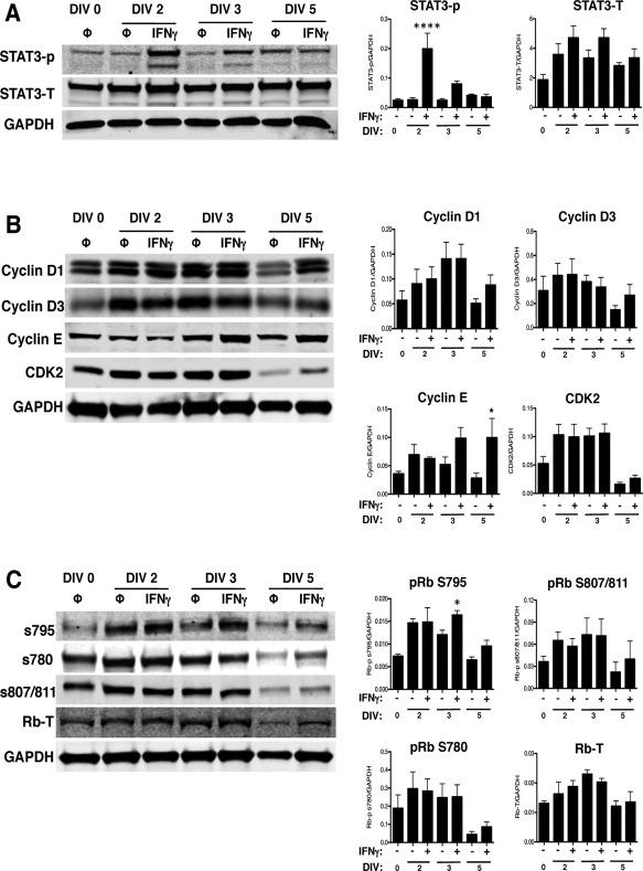 IFNγ activates STAT3, but does not inhibit cyclin E expression or pRb phosphorylation at S795, in the absence of STAT1. STAT1‐KO NSPCs were treated with IFNγ (100U/ml) and collected on DIV 2, 3, and 5 for western blot analysis. Representative blots for phosphorylated and total STAT3 A: cyclins D1, D2, D3, E and cdk2, B: and for total pRb and associated pRb phosphorylation sites, and C: are shown. Signal intensity for each band was normalized to GAPDH as a loading control. Quantitation of signal intensity is shown as the average from 3 independent biological replicates with SEM. Statistical analysis was applied using repeated measures one‐way ANOVA with Bonferroni multiple comparisons post‐hoc analysis (*p