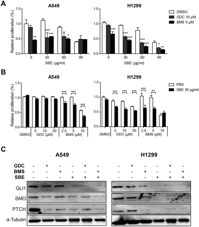 Downregulation of SMO magnifies inhibitory effects of SBE on NSCLC cell proliferation. ( A ) Proliferation assay indicating that GDC or BMS and various dose of SBE cooperatively repress NSCLC cell proliferation. ( B ) Proliferation assay showing that low dose of SBE sensitized anti-proliferative effects of SMO inhibitor (GDC and BMS) on A549 and H1299 cells. ( C ) Immunoblotting analysis demonstrating that SBE enhanced GDC or BMS-induced repression of GLI1, SMO, and PTCH on protein level.
