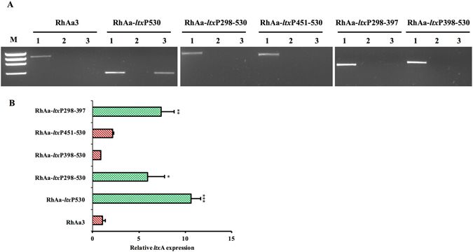 Transcriptional fusion of orf X with ltx operon due to promoter region deletion. A representative RT-PCR gel picture showing the transcriptional fusion in RhAa- ltx P530, but not in RhAa3 and RhAa- ltx P298-397 is seen. 1 – Genomic DNA template (+ve control); 2 – RNA template with no RT (−ve control); 3 – cDNA template ( A ). qRT-PCR analysis was carried out to assess the expression level of ltx A due to promoter deletion. There was a 10.7-fold increase in ltx A expression in RhAa- ltx P530, 5.9 fold increase in RhAa- ltx P298-530 and 7.4 fold increase in RhAa- ltx P298-397 compared to RhAa3. Values are means from a triplicate experiment. Error bars indicate ± SD. The significant fold changes (* P