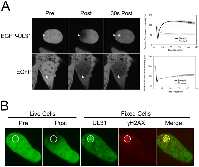 UL31 accumulates at sites of laser microirradiation-induced DNA-damage. ( A ) Representative images of live HeLa cells transfected with EGFP or EGFP-UL31 expression plasmids immediately before (Pre), immediately after (Post), and 30 seconds after the areas indicated by the arrowheads were microirradiated with a 405 nm laser using an Olympus FV1000 laser-scanning confocal microscope. The graphs display quantitation of the average fluorescence intensity of the microirradiated area (Bleach), as well as control distal areas (Control), over time for n = 20 cells in four independent experiments for EGFP-UL31 and for n = 22 cells in three independent experiments for EGFP. Error bars are standard error of the mean. ( B ) Images of a live HeLa cell transfected with EGFP-UL31 on grid-bottom dishes immediately before, and immediately after the indicated area (white circle) was microirradiated with a 405 nm laser using an Olympus FV1000 laser-scanning confocal microscope (Live). Cells were immediately fixed and stained with anti-γH2AX antibody followed by staining with Alexa 568 conjugated donkey anti-mouse secondary antibody. Microirradiated cells were relocated and images captured by confocal microscopy (Fixed). Image is representative of n = 8 cells analyzed in two independent experiments.