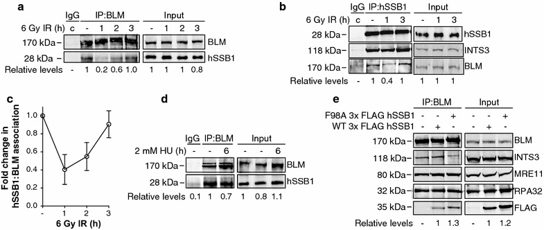 hSSB1 associates with BLM in cells. BLM ( a ) or hSSB1 ( b )-associating proteins were immunoprecipitated from U2OS whole cell lysates prepared from cells that had been either left untreated or exposed to 6 Gy ionising radiation (IR) and harvested after the indicated time periods. Control immunoprecipitations with an isotype IgG were performed from combination ( c ) samples comprised of equal amounts of each sample. Eluted proteins and whole cell lysates were separated by electrophoresis and immunoblotted with antibodies against BLM, hSSB1 and INTS3 ( b only). hSSB1 ( a ) or BLM ( b ) levels were determined by densitometry, normalised to the levels of BLM ( a ) or hSSB1 ( b ) as well as to the level of input protein and expressed relative to the untreated lane. c Line graph illustrating hSSB1: BLM association from three independent repeats of a and b . d BLM was immunoprecipitated from whole cell lysates, prepared from U2OS cells that were either untreated or had been treated with 2 mM hydroxyurea (HU) for 6 h. Eluted proteins and whole cell lysate samples (input) were immunoblotted with antibodies against BLM and hSSB1. hSSB1 levels were determined and expressed as per ( a ). e U2OS cells were transfected with plasmids encoding wild type (WT) or F98A 3× FLAG hSSB1, 24 h prior to cell lysis and immunoprecipitation of BLM-association proteins. Eluent was immunoblotted with antibodies against BLM, FLAG, INTS3, MRE11, RPA70 and RPA32. FLAG levels were determined by densitometry and normalised to the levels of BLM