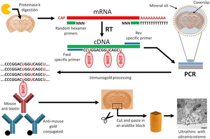 Diagram of the protocol of in situ RT-PCR combined with immunogold labeling for electron microscopy . Schematic diagram of in situ RT-PCR immunogold protocol. Tissue digestion with proteinase K increases the nucleic acid accessibility. After proteinase K treatment, we performed reverse transcription of mRNA to cDNA followed by a polymerase chain reaction with specific primers to amplify the gene of interest. In this step, biotin-labeled nucleotides are added to the PCR mix and incorporated into the reaction product. For this step we used a <t>thermocycler</t> adapted to glass slides. Then, PCR product was fixed with 4% PFA/0.5%GA, followed by immunogold labeling against biotin with gold-conjugated antibodies. After embedding the tissue in epoxy resin with conventional protocols, we obtained ultrathin sections with an ultramicrotome and detected gold particles with electron microscopy.